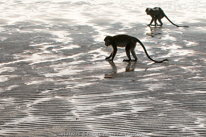 Two Long-tailed / Crab-eating macaques (Macaca fascicularis) foraging on coastline at low tide, Bako National Park, Sarawak, Borneo, Malaysia, ASIA,backlit,Bako National Park,beach,borneo,BORNEO ISLAND,catalogue3,close up,CLOSE UPS,coastal,COASTS,DETERMINATION,digging,elevated view,FORAGING,full length,imitation,LITTORAL,looking,low tide,MACAQUES,Malaysia,MAMMALS,MONKEYS,natural pattern,Nobody,NP,outdoors,PRIMATES,repetition,rippled,sand,sarawak,sea,side view,SILHOUETTES,SOUTH EAST ASIA,two,two animals,VERTEBRATES,WATER,wet sand,WILDLIFE,Intertidal,National Park, Edwin Giesbers