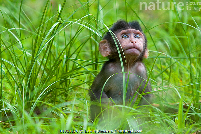 Long-tailed / Crab-eating macaque (Macaca fascicularis) portrait of baby sitting in long grass, Bako National Park, Sarawak, Borneo, Malaysia  ,  ASIA,BABIES,BORNEO ISLAND,JUVENILE,MACAQUES,MAMMALS,MONKEYS,NP,PORTRAITS,PRIMATES,SOUTH EAST ASIA,VERTEBRATES,National Park  ,  Edwin Giesbers