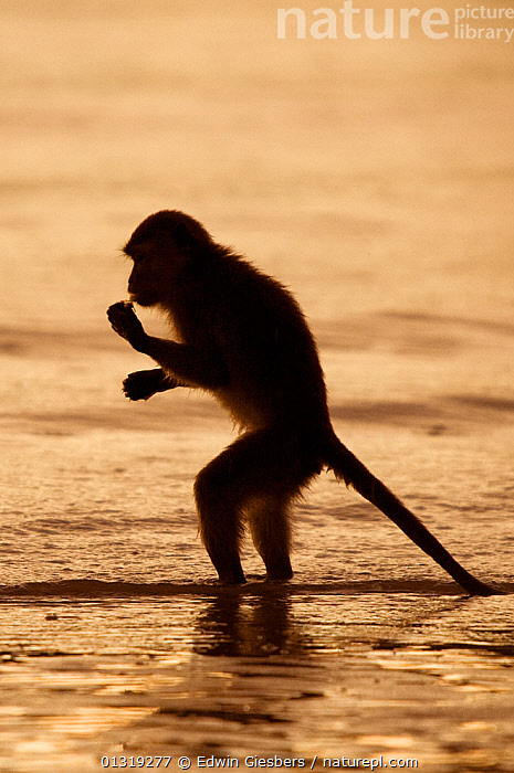 Long-tailed / Crab-eating macaque (Macaca fascicularis) foraging at low tide, silhouetted on beach, Bako National Park, Sarawak, Borneo, Malaysia  ,  ASIA,BEACHES,BEHAVIOUR,BORNEO ISLAND,COASTS,FORAGING,MACAQUES,MAMMALS,MONKEYS,NP,PRIMATES,SOUTH EAST ASIA,STANDING,VERTEBRATES,WATER,National Park  ,  Edwin Giesbers