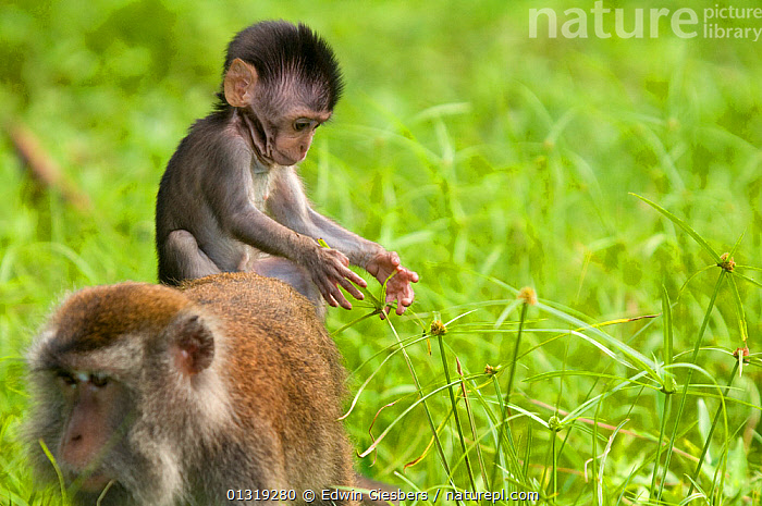 Long-tailed / Crab-eating macaque (Macaca fascicularis) baby riding on back of an adult, Bako National Park, Sarawak, Borneo, Malaysia  ,  ASIA,BABIES,BORNEO ISLAND,COASTS,FEMALES,FORAGING,JUVENILE,MACAQUES,MAMMALS,MANGROVES,MONKEYS,NP,PRIMATES,SOUTH EAST ASIA,VERTEBRATES,National Park  ,  Edwin Giesbers