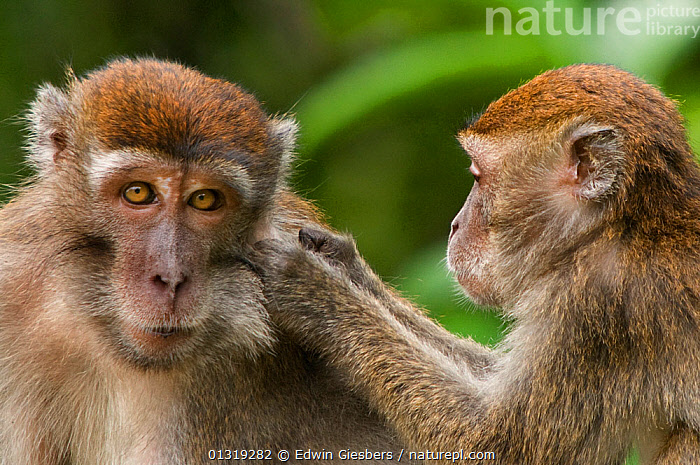 Two Long-tailed / Crab-eating macaques (Macaca fascicularis) one grooming the other, Bako National Park, Sarawak, Borneo, Malaysia  ,  ASIA,BORNEO ISLAND,GROOMING,MACAQUES,MAMMALS,MONKEYS,NP,PORTRAITS,PRIMATES,SOCIAL BEHAVIOUR,SOUTH EAST ASIA,TWO,VERTEBRATES,National Park  ,  Edwin Giesbers