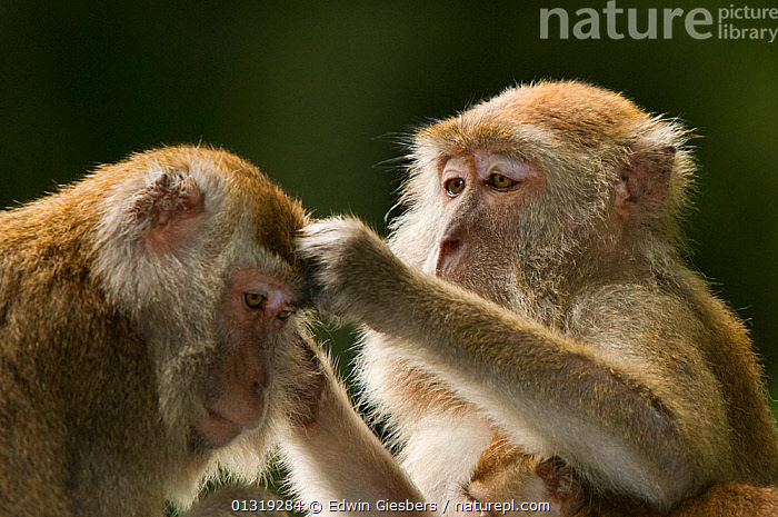 Two Long-tailed / Crab-eating macaques (Macaca fascicularis) one grooming the other, Bako National Park, Sarawak, Borneo, Malaysia  ,  ASIA,BORNEO ISLAND,GROOMING,MACAQUES,MAMMALS,MONKEYS,NP,PRIMATES,SOCIAL BEHAVIOUR,SOUTH EAST ASIA,TWO,VERTEBRATES,National Park  ,  Edwin Giesbers