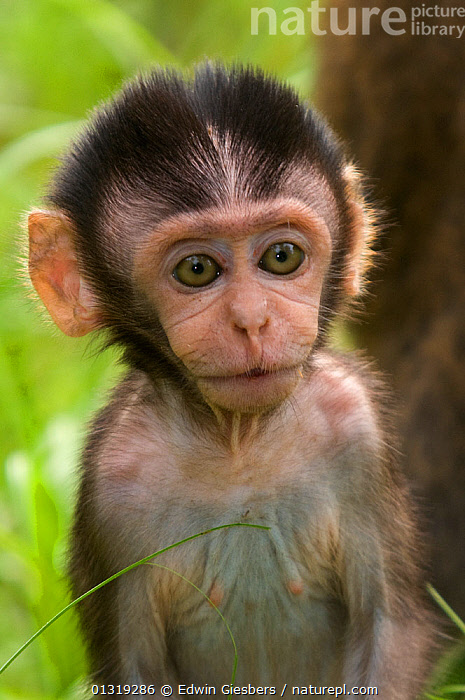 Long-tailed / Crab-eating macaque (Macaca fascicularis) head portrait of baby, Bako National Park, Sarawak, Borneo, Malaysia, ASIA,BABIES,BORNEO ISLAND,JUVENILE,MACAQUES,MAMMALS,MONKEYS,NP,PORTRAITS,PRIMATES,SOUTH EAST ASIA,VERTEBRATES,VERTICAL,National Park, Edwin Giesbers