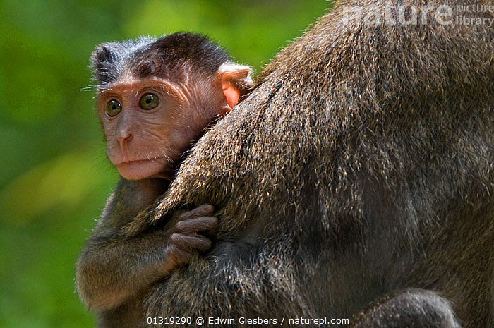 Long-tailed / Crab-eating macaque (Macaca fascicularis) baby riding on back of adult, Bako National Park, Sarawak, Borneo, Malaysia  ,  ASIA,BABIES,BORNEO ISLAND,MACAQUES,MAMMALS,MONKEYS,NP,PORTRAITS,PRIMATES,VERTEBRATES,National Park  ,  Edwin Giesbers