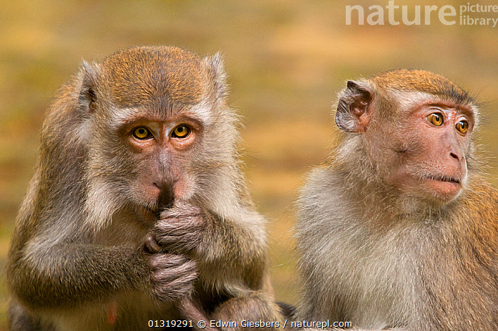 Two Long-tailed / Crab-eating macaques (Macaca fascicularis) one holding / grooming tail, Bako National Park, Sarawak, Borneo, Malaysia  ,  ASIA,BORNEO ISLAND,GROOMING,MACAQUES,MAMMALS,MONKEYS,NP,PRIMATES,SOCIAL BEHAVIOUR,TAILS,VERTEBRATES,National Park  ,  Edwin Giesbers
