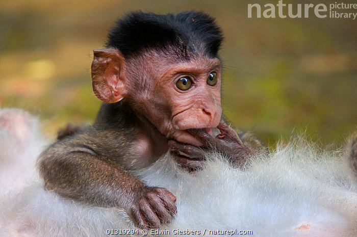 Two Long-tailed / Crab-eating macaques (Macaca fascicularis) head portrait of baby, lying on chest of adult, Bako National Park, Sarawak, Borneo, Malaysia  ,  ASIA,BABIES,BORNEO ISLAND,MACAQUES,MAMMALS,MONKEYS,NP,PORTRAITS,PRIMATES,VERTEBRATES,National Park  ,  Edwin Giesbers