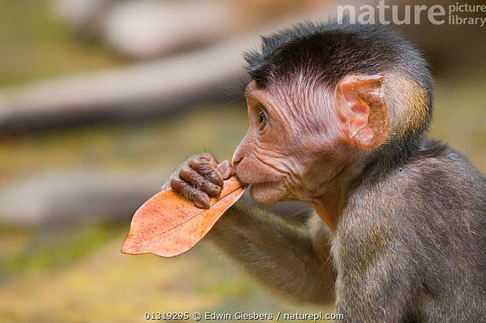 Two Long-tailed / Crab-eating macaques (Macaca fascicularis) portrait of baby, chewing on dry leaf, Bako National Park, Sarawak, Borneo, Malaysia  ,  ASIA,BABIES,BORNEO ISLAND,DIGITS,FINGERS,HANDS,LEAVES,MACAQUES,MAMMALS,MONKEYS,NP,PORTRAITS,PRIMATES,PROFILE,VERTEBRATES,National Park  ,  Edwin Giesbers