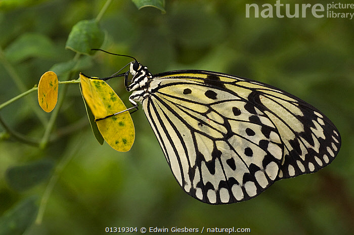 Tree nymph butterfly (Idea leuconoe) at rest on plant.  ,  BLACK,BUTTERFLIES,INSECTS,INVERTEBRATES,LEPIDOPTERA,WHITE  ,  Edwin Giesbers