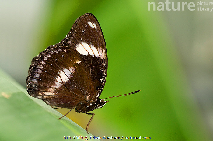 Clipper butterfly (Parthenos sylvia) at rest on leaf.  ,  ARTHROPODS,BUTTERFLIES,INSECTS,INVERTEBRATES,LEPIDOPTERA  ,  Edwin Giesbers
