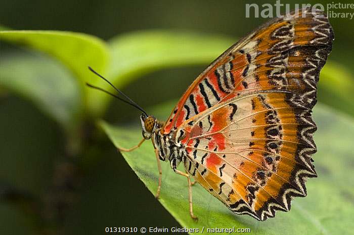 Red Lacewing butterfly (Cethosia biblis) at rest on leaf, Borneo, Sarawak, Malaysia  ,  ASIA,BUTTERFLIES,COLOURFUL,INSECTS,INVERTEBRATES,LEPIDOPTERA,NYMPHALIDAE,PATTERNS,PROFILE,RESTING,TROPICAL RAINFOREST  ,  Edwin Giesbers