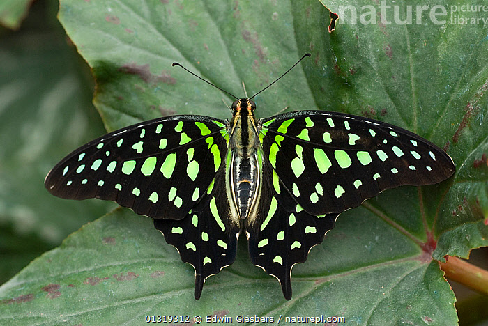 Tailed jay butterfly (Graphium agamemnon) at rest with wings open  ,  BLACK,COLOURFUL,INSECTS,INVERTEBRATES,LEPIDOPTERA,PAPILIONIDAE,PATTERNS,RESTING,SPOTS,SWALLOWTAIL BUTTERFLIES,YELLOW,Corvids  ,  Edwin Giesbers