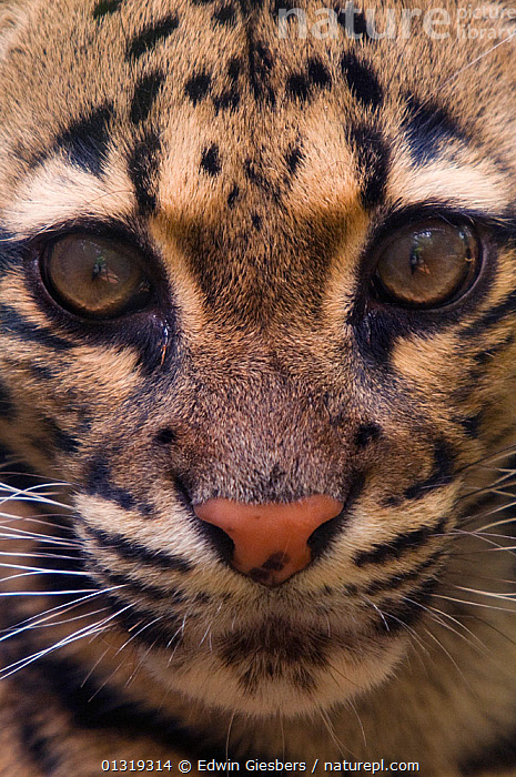 Clouded leopard (Neofelis nebulosa) close-up head portrait, captive  ,  BIG CATS,CARNIVORES,CLOSE UPS,EYES,FACES,LEOPARDS,MAMMALS,VERTEBRATES,VERTICAL  ,  Edwin Giesbers
