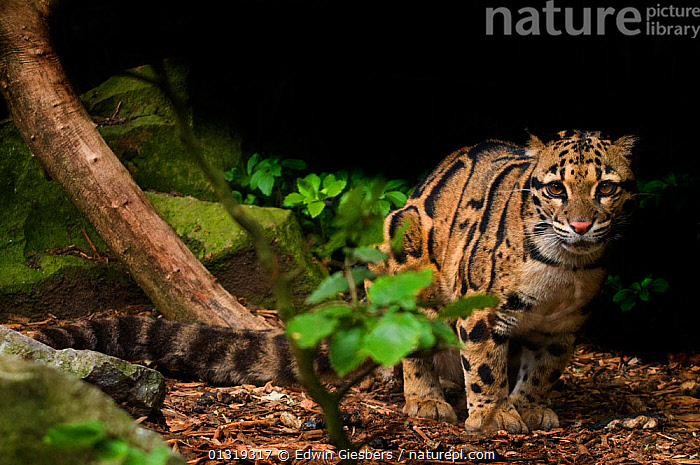 Clouded leopard (Neofelis nebulosa) portrait,  captive  ,  BIG CATS,CARNIVORES,LEOPARDS,MAMMALS,STANDING,VERTEBRATES  ,  Edwin Giesbers