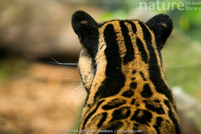 Clouded leopard (Neofelis nebulosa) rear view head portrait showing ears, captive  ,  BIG CATS,CARNIVORES,CLOSE UPS,EARS,LEOPARDS,MAMMALS,VERTEBRATES  ,  Edwin Giesbers