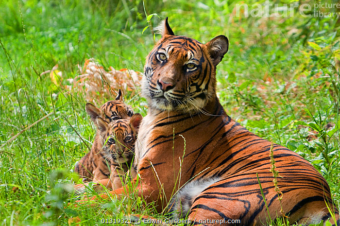 Sumatran tiger (Panthera tigris sumatrae) mother lying down with two cubs aged two months, captive  ,  BABIES,BIG CATS,CARNIVORES,ENDANGERED,FAMILIES,FEMALES,JUVENILE,MAMMALS,MOTHER BABY,PORTRAITS,TIGERS  ,  Edwin Giesbers