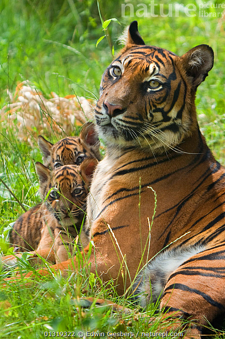 Sumatran tiger (Panthera tigris sumatrae) mother lying down with two cubs aged two months, captive  ,  BABIES,BIG CATS,CARNIVORES,ENDANGERED,FAMILIES,FEMALES,JUVENILE,MAMMALS,MOTHER BABY,PORTRAITS,TIGERS,VERTICAL  ,  Edwin Giesbers