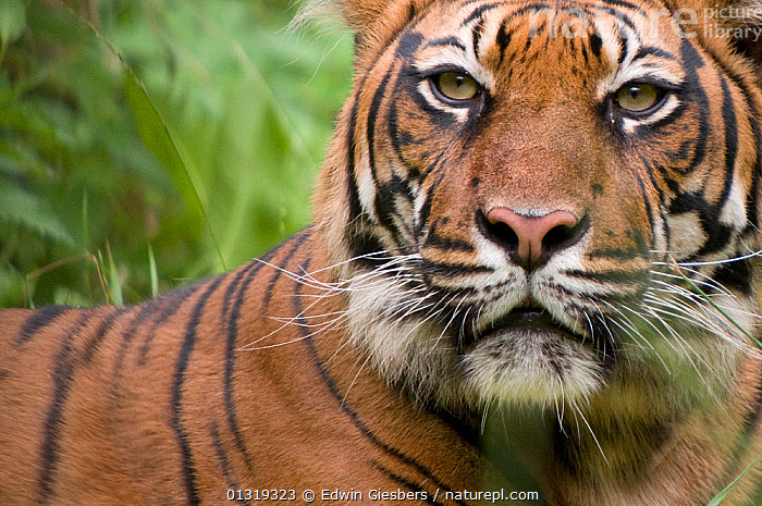 Sumatran tiger (Panthera tigris sumatrae) head portrait, captive  ,  BIG CATS,CARNIVORES,CLOSE UPS,ENDANGERED,EYES,MAMMALS,PORTRAITS,TIGERS  ,  Edwin Giesbers