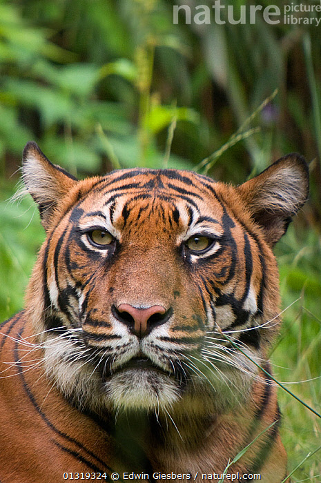 Sumatran tiger (Panthera tigris sumatrae) head portrait, captive  ,  BIG CATS,CARNIVORES,CLOSE UPS,ENDANGERED,EYES,MAMMALS,PORTRAITS,TIGERS,VERTICAL  ,  Edwin Giesbers