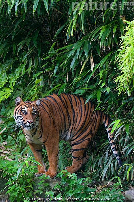Sumatran tiger (Panthera tigris sumatrae) standing near water and bamboo vegetation, captive  ,  BIG CATS,CARNIVORES,ENDANGERED,MAMMALS,STANDING,TIGERS,VERTICAL  ,  Edwin Giesbers