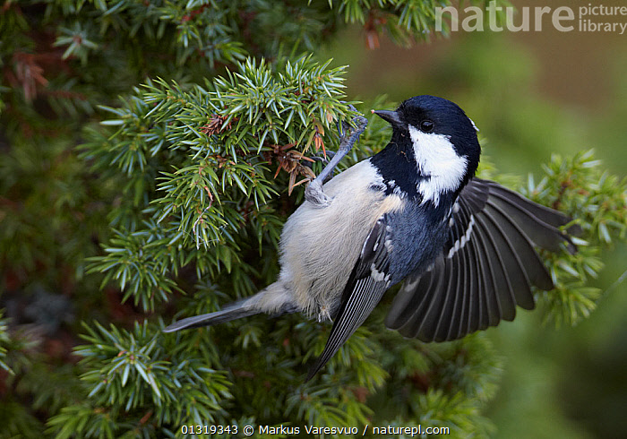 Coal tit (Periparus ater) clinging to conifer twig flapping wings, Finland, September  ,  BEHAVIOUR, BIRDS, EUROPE, Finland, Flapping, Paridae, SCANDINAVIA, songbirds, TITS, VERTEBRATES, WINGS  ,  Markus Varesvuo