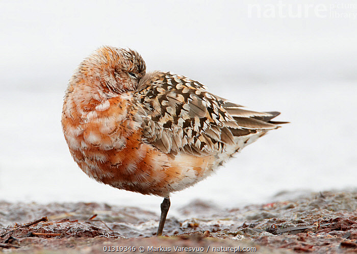 Curlew sandpiper (Calidris ferruginea) sleeping, Finland, August  ,  animal portrait,Balance,BEHAVIOUR,BIRDS,bizarre,BROWN,catalogue3F,close up,CLOSE UPS,coastal,EUROPE,eye open,Finland,full length,hiding,Nobody,one animal,outdoors,plumage,rock,SANDPIPERS,SCANDINAVIA,Scolopacidae,side view,skill,SLEEPING,STANDING,standing on one leg,strange,VERTEBRATES,view to sea,WADERS,wet,WILDLIFE,,Skill, Efficiency,  ,  Markus Varesvuo