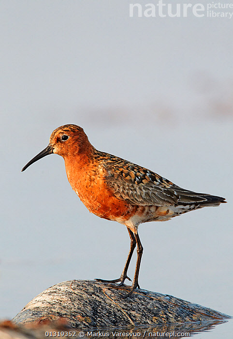Curlew sandpiper (Calidris ferruginea) standing on rock, Finland, July  ,  BIRDS,CUTOUT,EUROPE,FINLAND,ROCKS,SANDPIPERS,SCANDINAVIA,SCOLOPACIDAE,VERTEBRATES,VERTICAL,WADERS,WATER  ,  Markus Varesvuo