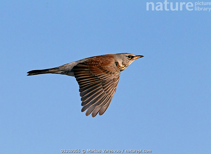 Fieldfare (Turdus pilaris) flying, Finland, October  ,  BIRDS,CUTOUT,EUROPE,FINLAND,FLYING,SCANDINAVIA,SONGBIRDS,THRUSHES,TURDIDAE,VERTEBRATES,WINGS  ,  Markus Varesvuo