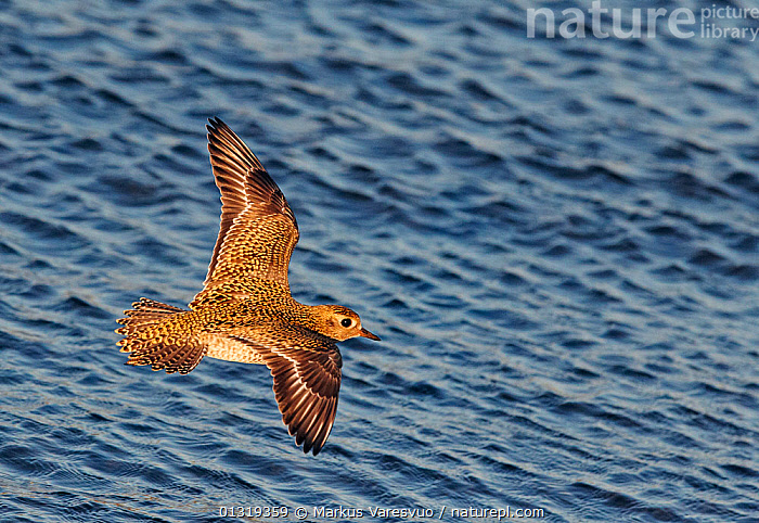 Golden plover (Pluvialis apricaria) flying over water, Finland, October  ,  BIRDS,CHARADRIIDAE,EUROPE,FINLAND,FLYING,HIGH ANGLE SHOT,PLOVERS,SCANDINAVIA,VERTEBRATES,WADERS,WATER,WINGS  ,  Markus Varesvuo