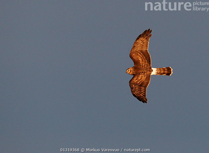 Hen harrier (Circus cyaneus) flying, Finland, September  ,  ACCIPITRIDAE,BIRDS,BIRDS OF PREY,CUTOUT,EUROPE,FINLAND,FLYING,HARRIERS,SCANDINAVIA,VERTEBRATES,WINGS  ,  Markus Varesvuo