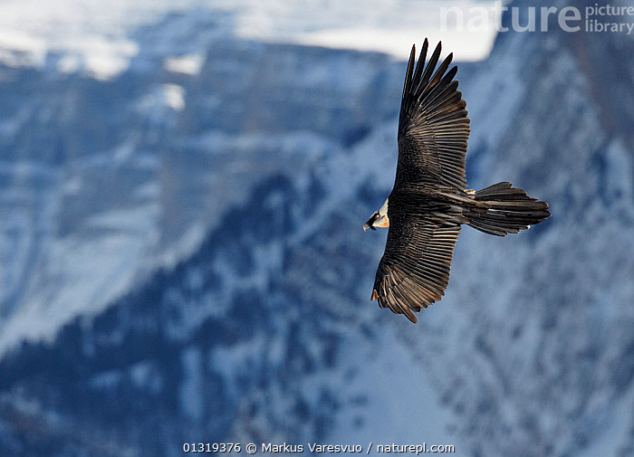 Lammergeier / Bearded vulture (Gypaetus barbatus) flying showing wings from above, Spain, November  ,  ACCIPITRIDAE,BEARDED VULTURE,BIRDS,BIRDS OF PREY,EUROPE,FEATHERS,FLYING,HIGH ANGLE SHOT,LANDSCAPES,MOUNTAINS,PYRENEES,SNOW,SPAIN,VERTEBRATES,VULTURES,WINGS  ,  Markus Varesvuo