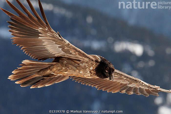 Juvenile Lammergeier / Bearded vulture (Gypaetus barbatus) flying, Spain, November  ,  ACCIPITRIDAE,BEARDED VULTURE,BIRDS,BIRDS OF PREY,EUROPE,FEATHERS,FLYING,JUVENILE,MOUNTAINS,PYRENEES,SPAIN,VERTEBRATES,VULTURES,WINGS  ,  Markus Varesvuo