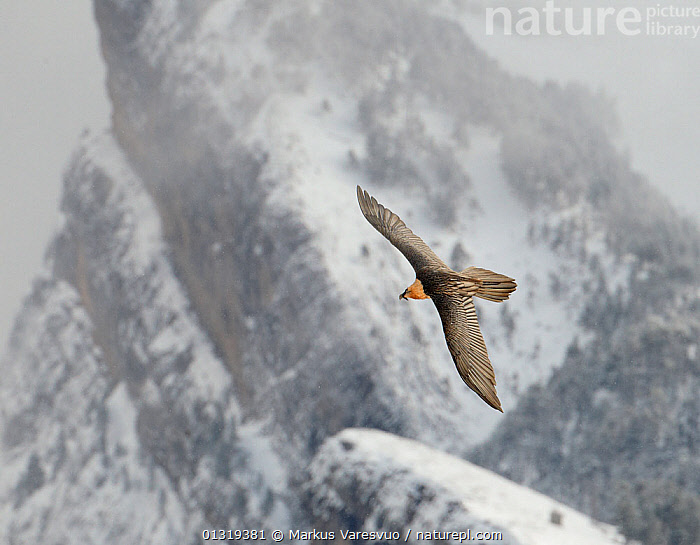 Lammergeier / Bearded vulture (Gypaetus barbatus) flying, Spain, November  ,  Accipitridae,bad weather,BEARDED VULTURE,BIRDS,BIRDS OF PREY,catalogue3F,close up,CLOSE UPS,ease,EUROPE,flight,FLYING,mid air,MIST,Mountain,mountainous,MOUNTAINS,Mountainside,Nobody,one animal,outdoors,pyrenees,SNOW,snow capped,SPAIN,VERTEBRATES,VULTURES,WILDLIFE,wings spread,wingspan,WINTER  ,  Markus Varesvuo