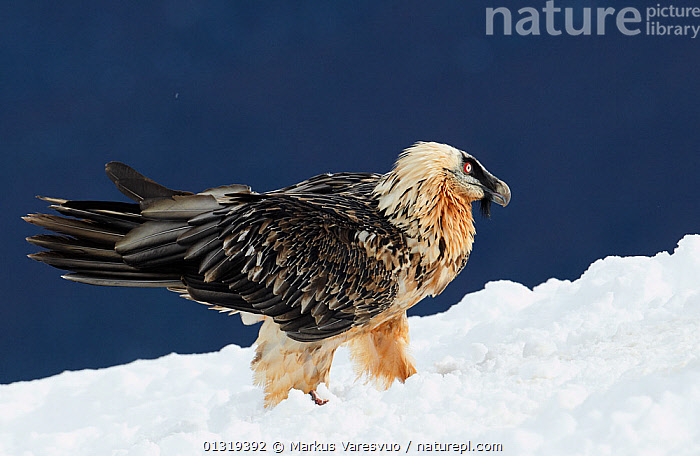 Lammergeier / Bearded vulture (Gypaetus barbatus) subadult in snow, Spain, November  ,  ACCIPITRIDAE,BEARDED VULTURE,BIRDS,BIRDS OF PREY,EUROPE,PYRENEES,SNOW,SPAIN,VERTEBRATES,VULTURES  ,  Markus Varesvuo