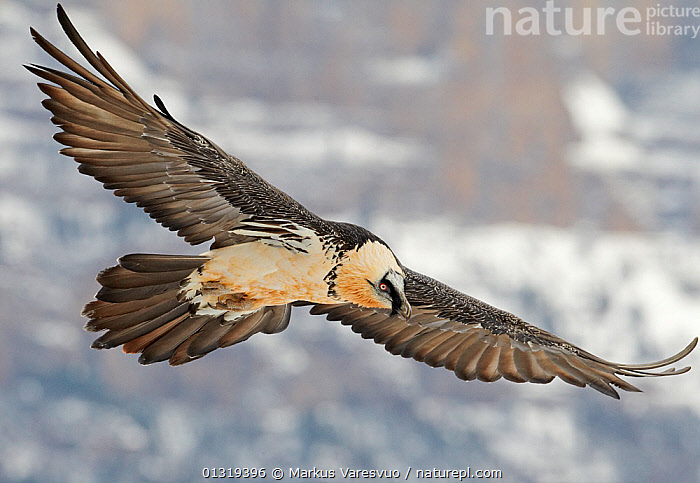 Lammergeier / Bearded vulture (Gypaetus barbatus) flying, Spain, November  ,  ACCIPITRIDAE,BEARDED VULTURE,BIRDS,BIRDS OF PREY,EUROPE,FEATHERS,FLYING,PYRENEES,SPAIN,VERTEBRATES,VULTURES,WINGS  ,  Markus Varesvuo