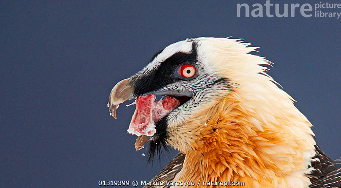 Lammergeier / Bearded vulture (Gypaetus barbatus) feeding on bone, Spain, November  ,  ACCIPITRIDAE,BEARDED VULTURE,BIRDS,BIRDS OF PREY,EUROPE,FEEDING,HEADS,PORTRAITS,PYRENEES,SPAIN,VERTEBRATES,VULTURES  ,  Markus Varesvuo