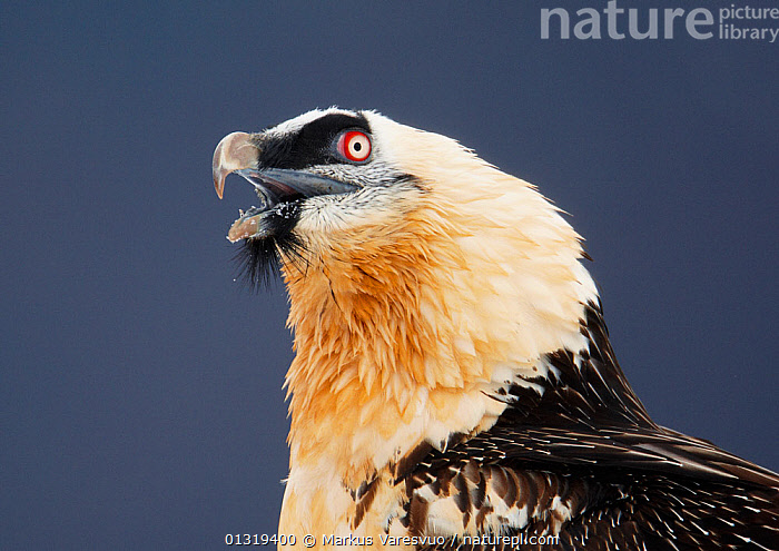 Lammergeier / Bearded vulture (Gypaetus barbatus) calling, Spain, November  ,  ACCIPITRIDAE,BEARDED VULTURE,BEHAVIOUR,BIRDS,BIRDS OF PREY,EUROPE,HEADS,PYRENEES,SPAIN,VERTEBRATES,VOCALISATION,VULTURES  ,  Markus Varesvuo