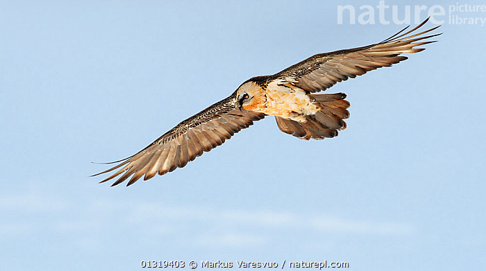 Lammergeier / Bearded vulture (Gypaetus barbatus) flying, Spain, November  ,  ACCIPITRIDAE,BEARDED VULTURE,BIRDS,BIRDS OF PREY,CUTOUT,EUROPE,FLYING,LOW ANGLE SHOT,PYRENEES,SPAIN,VERTEBRATES,VULTURES,WINGS  ,  Markus Varesvuo