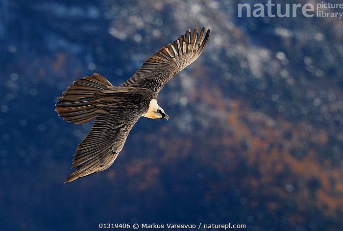 Lammergeier / Bearded vulture (Gypaetus barbatus) flying, Spain, November  ,  Accipitridae,animals in the wild,BEARDED VULTURE,BIRDS,BIRDS OF PREY,catalogue3F,close up,CLOSE UPS,CUTOUT,destination,DETERMINATION,elevated view,EUROPE,FLYING,HIGH ANGLE SHOT,looking down,nature,negative space,Nobody,one animal,outdoors,plumage,pyrenees,sea,SPAIN,VERTEBRATES,VULTURES,WILDLIFE,WINGS,wings spread,wingspan,WINTER  ,  Markus Varesvuo