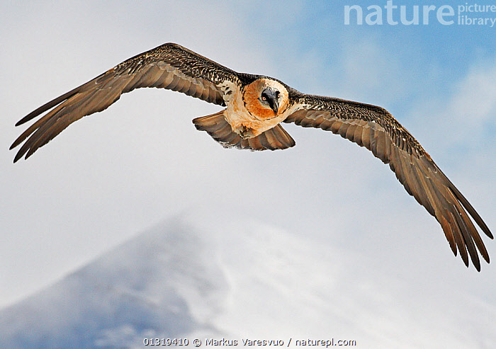 Lammergeier / Bearded vulture (Gypaetus barbatus) flying, Spain, November  ,  Accipitridae,alert,animals in the wild,BEARDED VULTURE,BIRDS,BIRDS OF PREY,catalogue3F,close up,CLOSE UPS,CLOUDS,CUTOUT,EUROPE,flight,FLYING,front view,low angle view,MIST,Mountain,MOUNTAINS,nature,negative space,Nobody,one animal,outdoors,power,pyrenees,SNOW,snowcapped,SPAIN,VERTEBRATES,VULTURES,watchful,WILDLIFE,wings spread,wingspan,WINTER,Weather  ,  Markus Varesvuo