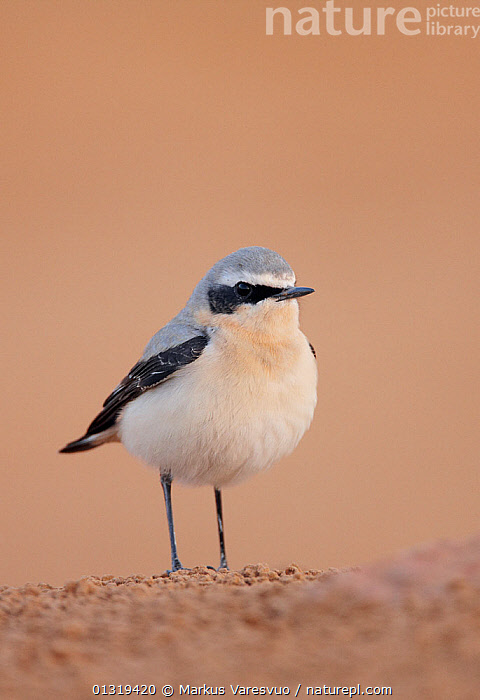 Northern wheatear (Oenanthe oenanthe) portrait, Israel, March  ,  BIRDS,CUTOUT,ISRAEL,MIDDLE EAST,PORTRAITS,SONGBIRDS,TURDIDAE,VERTEBRATES,VERTICAL,WHEATEARS,Chats  ,  Markus Varesvuo