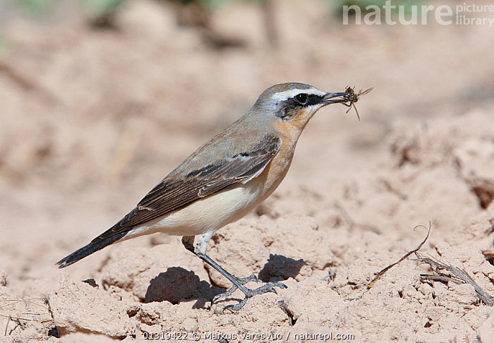 Northern wheatear (Oenanthe oenanthe) with insect prey in beak, Israel, March  ,  BIRDS,FEEDING,FLIES,INSECTS,ISRAEL,MIDDLE EAST,SONGBIRDS,TURDIDAE,VERTEBRATES,WHEATEARS,Invertebrates,Chats  ,  Markus Varesvuo