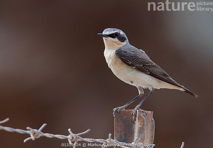 Male Northern wheatear (Oenanthe oenanthe) perched on metal fence post, Israel, March  ,  BIRDS,CUTOUT,ISRAEL,MALES,MIDDLE EAST,SONGBIRDS,TURDIDAE,VERTEBRATES,WHEATEARS,Chats  ,  Markus Varesvuo