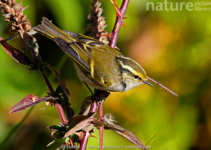 Pallas's leaf warbler (Phylloscopus proregulus) perched, Finland, October  ,  BIRDS, EUROPE, Finland, SCANDINAVIA, songbirds, THORNS, VERTEBRATES, WARBLERS  ,  Markus Varesvuo
