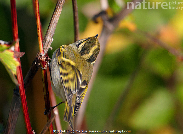 Pallas's leaf warbler (Phylloscopus proregulus)  looking up while perched on stem, Finland, October  ,  BIRDS, EUROPE, Finland, SCANDINAVIA, songbirds, VERTEBRATES, WARBLERS  ,  Markus Varesvuo