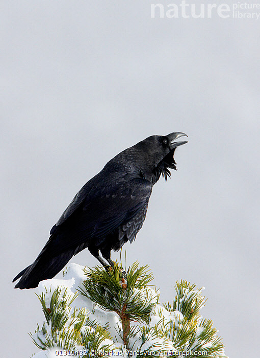 Common raven (Corvus corax) calling perched on snow covered branch, Spain, November  ,  BEHAVIOUR,BIRDS,CORVIDS,CROWS,EUROPE,RAVENS,SNOW,SONGBIRDS,SPAIN,VERTEBRATES,VERTICAL,VOCALISATION  ,  Markus Varesvuo