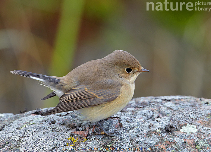 Red breasted flycatcher (Ficedula parva) on rock, Finland, October  ,  BIRDS,EUROPE,FINLAND,FLYCATCHERS,MUSCICAPIDAE,ROCKS,SCANDINAVIA,SONGBIRDS,VERTEBRATES  ,  Markus Varesvuo