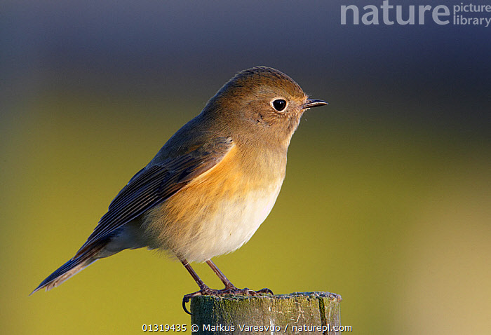 Red-flanked bluetail (Tarsiger / Luscinia cyanurus) perched on wooden post, Finland, October  ,  BIRDS, chats, CUTOUT, ERITHACUS, EUROPE, Finland, MUSCICAPIDAE, PROFILE, SCANDINAVIA, songbirds, TARSIGER CYNURUS, VERTEBRATES  ,  Markus Varesvuo