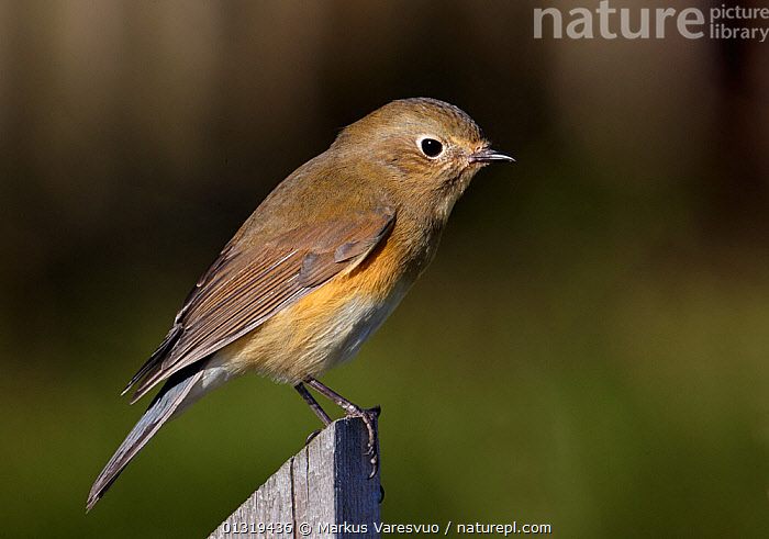 Red-flanked bluetail (Tarsiger / Luscinia cyanurus) perched on wooden post, Finland, October  ,  BIRDS, chats, CUTOUT, ERITHACUS, EUROPE, Finland, MUSCICAPIDAE, SCANDINAVIA, songbirds, TARSIGER CYNURUS, VERTEBRATES  ,  Markus Varesvuo