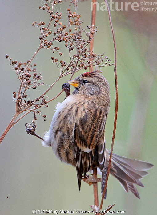 Redpoll (Carduelis flammea) on seed head Finland, October  ,  Balance,berries,BIRDS,catalogue3F,close up,CLOSE UPS,EUROPE,FINCHES,Finland,Fringillidae,full length,HUMOROUS,humour,nature,Nobody,one animal,outdoors,plumage,precarious,Reaching,risk,SCANDINAVIA,seedhead,SEEDS,side view,songbirds,stem,STRETCHING,tail feather,taking a step,twig,VERTEBRATES,VERTICAL,WILDLIFE,WINTER,Concepts  ,  Markus Varesvuo