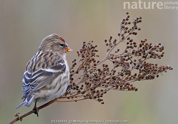Redpoll (Carduelis flammea) perched o seed head Finland, October  ,  BIRDS,EUROPE,FINCHES,FINLAND,FRINGILLIDAE,SCANDINAVIA,SEEDS,SONGBIRDS,VERTEBRATES  ,  Markus Varesvuo